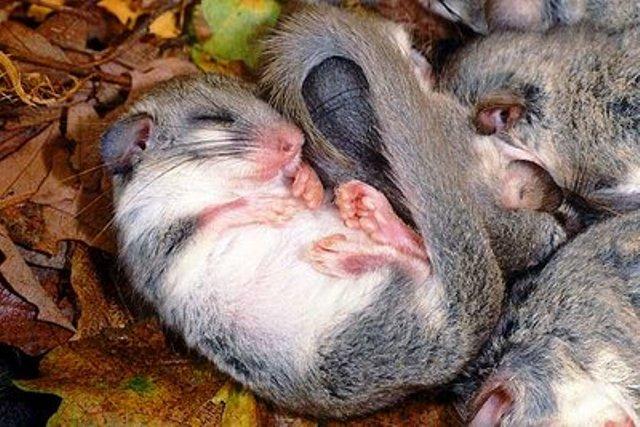 Valtrompia il ghiro for Immagini di animali che vanno in letargo