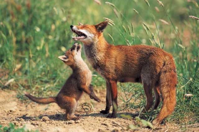 Valtrompia alla scoperta della volpe for Dove vive la volpe
